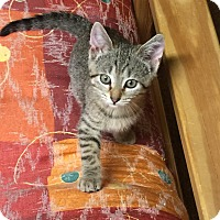 Adopt A Pet :: Pebbles - Turnersville, NJ