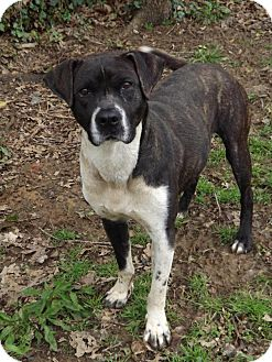 Labrador Retriever/Boxer Mix Dog for adoption in Shelbyville, Tennessee - Banjo