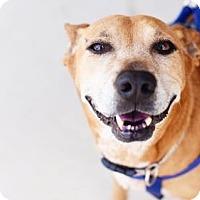 Canaan Dog/Labrador Retriever Mix Dog for adoption in Dallas, Texas - Levi
