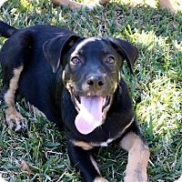 Adopt A Pet :: Hoss (Susan) - Homestead, FL