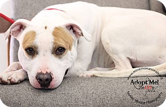 American Pit Bull Terrier Mix Dog for adoption in Mt Vernon, New York - Joey