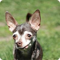 Adopt A Pet :: Layla - Romeoville, IL