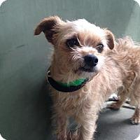 Adopt A Pet :: PEBBLES - Pacific Palisades, CA