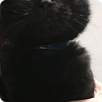 Adopt A Pet :: Bruno - Napoleon, OH