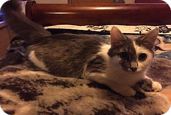 Domestic Mediumhair Cat for adoption in Caro, Michigan - Lucy
