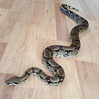 Adopt A Pet :: Seraphina - Aurora, IL