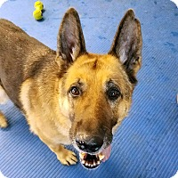 German Shepherd Dog Mix Dog for adoption in New Ringgold, Pennsylvania - Harry