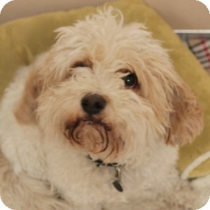 Bichon Frise/Cavalier King Charles Spaniel Mix Dog for adoption in Naperville, Illinois - Jasper