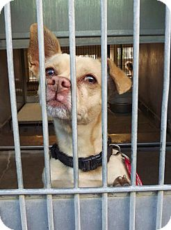 Chihuahua Mix Dog for adoption in San Diego, California - Carl URGENT