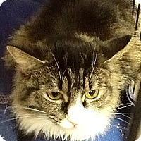Domestic Mediumhair Cat for adoption in Webster, Massachusetts - Princess