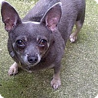 Chihuahua Dog for adoption in Lincolnwood, Illinois - Sara