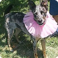Adopt A Pet :: Koda - Hutchinson, KS