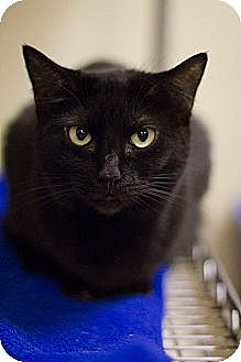 Domestic Shorthair Cat for adoption in Grayslake, Illinois - Jellylorum