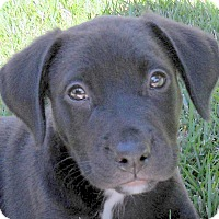 Adopt A Pet :: Baby Bliss - Oakley, CA
