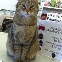 Domestic Shorthair Cat for adoption in West Babylon, New York - Shakira