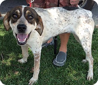 Redtick Coonhound Mix Dog for adoption in Cincinnati, Ohio - Scarlett
