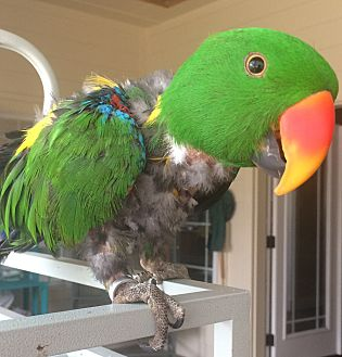 Eclectus for adoption in Fort Worth, Texas - Harley