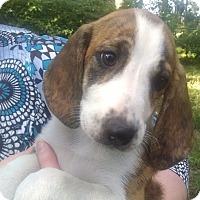 Adopt A Pet :: Pumpkin - Hagerstown, MD