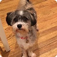 Adopt A Pet :: Doodle - Atlanta, GA