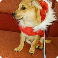 Adopt A Pet :: Corgi Mix Fl Pup - Lomita, CA