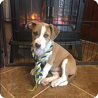 Adopt A Pet :: Pecan - Westminster, MD