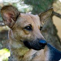 Adopt A Pet :: Hazel - Boulder, CO