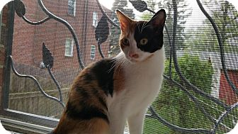 Domestic Shorthair Cat for adoption in Philadelphia, Pennsylvania - Sunny