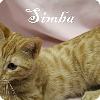 Domestic Shorthair Kitten for adoption in Oakland Park, Florida - Simba