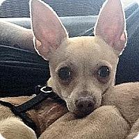 Chihuahua Mix Puppy for adoption in Surrey, British Columbia - Casper