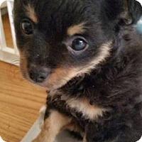 Adopt A Pet :: Rexie - Hillside, IL