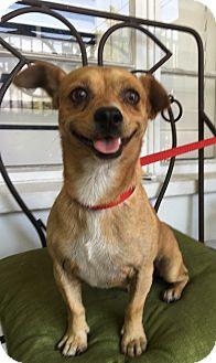 Pug/Chihuahua Mix Dog for adoption in Santa Ana, California - Winston (BH)