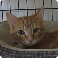 Domestic Shorthair Kitten for adoption in Jackson, Missouri - LT. DAN