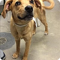 Labrador Retriever Mix Dog for adoption in Madison, New Jersey - Bailey