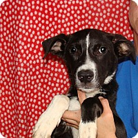 Border Collie/Labrador Retriever Mix Puppy for adoption in Oviedo, Florida - Nitro