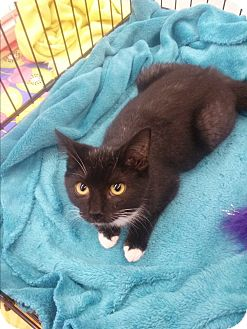 Domestic Shorthair Kitten for adoption in Northfield, Ohio - Rocket