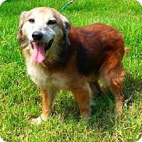 Golden Retriever/Shepherd (Unknown Type) Mix Dog for adoption in Simsbury, Connecticut - Brownie