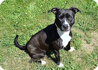 Pit Bull Terrier/American Staffordshire Terrier Mix Dog for adoption in Michigan City, Indiana - Ava