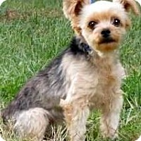 "Adopt A Pet :: TIFFY(OUR ""YORKIE-POO"" !! - Wakefield, RI"
