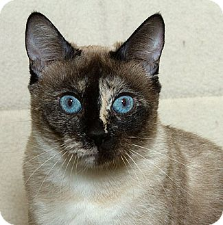 Siamese Cat for adoption in Sacramento, California - Clarice M
