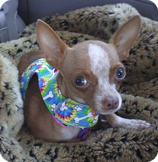 Chihuahua Mix Dog for adoption in San Diego, California - Lottie