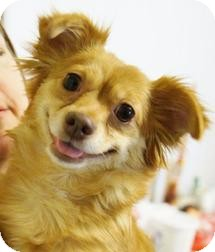 Chihuahua Dog for adoption in Medford, Massachusetts - Daisy