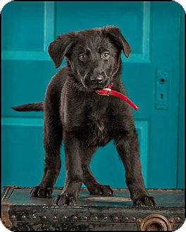 Labrador Retriever Mix Puppy for adoption in Owensboro, Kentucky - Bex