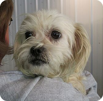 shih tzu poodle mix rescue daisy adopted dog marseilles il poodle standard 2426