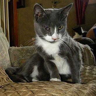 Domestic Shorthair Cat for adoption in Audubon, New Jersey - Jordan
