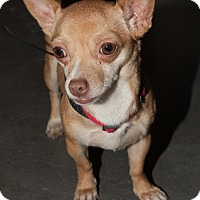 Chihuahua Mix Dog for adoption in Loudonville, New York - Patty