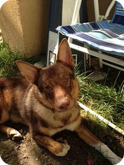 Shiba Inu Mix Dog for adoption in New York, New York - Kobe
