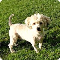 Adopt A Pet :: Simon - Walnut Creek, CA