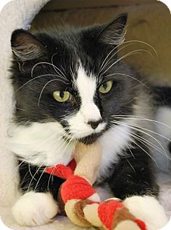 Maine Coon Cat for adoption in Fairfax, Virginia - Angus