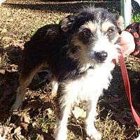 Adopt A Pet :: Daisy 1 Adoption pending - Manchester, CT
