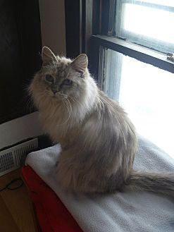 Siamese Cat for adoption in MADISON, Ohio - Grizabella
